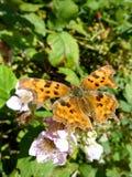 motyla lato Obraz Royalty Free