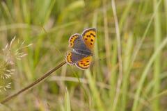 motyla miedziani lycaena phlaeas mali Zdjęcia Stock