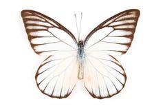 motyla odosobneni philonome prioneris Zdjęcie Stock