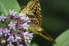 Motyla - pomarańczowy i czarny motyl na kwiacie Zdjęcia Stock