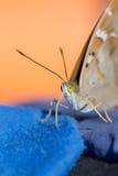 Motyla zamknięty up Obrazy Royalty Free