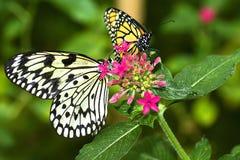motyle dwa Obraz Royalty Free