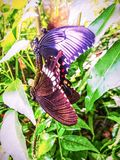 Motyle mateing w dżunglę Obrazy Royalty Free
