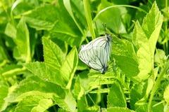 Motyle matuje w trawie Zdjęcia Royalty Free