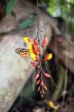 Motyle na egzotycznym tropikalnym kwiacie, Ekwador Zdjęcie Royalty Free