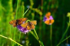 Motyle na kwiacie Fotografia Royalty Free