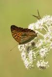Motyle na kwiatach Obrazy Royalty Free