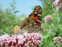 Motyle na paśniku Zdjęcia Royalty Free