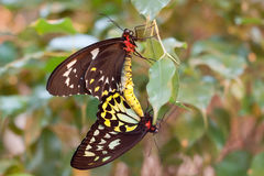 motyle target2509_1_ ornithoptera priamus Obraz Stock