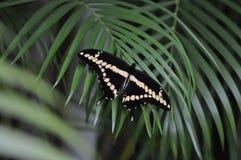 Motyle Wschodni Czarny Swallowtail Zdjęcia Royalty Free
