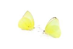 Motyli żółty kolor Obraz Royalty Free