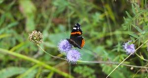 Motyli Admiral siedzi z fałdowymi skrzydłami na puszystym lilym kwiacie obraz stock