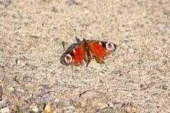 Motyli Aglais io Pawi motyl Zdjęcie Stock