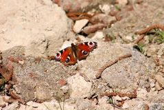 Motyli Aglais io Pawi motyl na kamieniach Fotografia Royalty Free