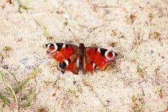 Motyli Aglais io Pawi motyl z popielatym tłem Zdjęcia Stock