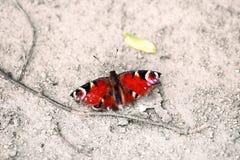Motyli Aglais io Pawi motyl z popielatym tłem Obraz Stock