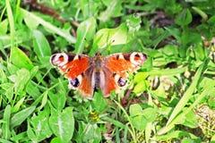 Motyli Aglais io z zielonym tłem Zdjęcia Stock