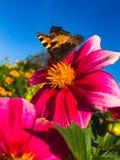 Motyli Aglais urticae Zdjęcie Royalty Free