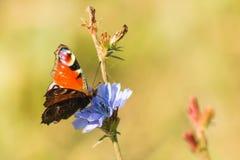 Motyli Aglais urticae zbierają nektar od cykoriowego kwiatu makro- Zdjęcie Stock