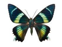 Motyli Alcides argathyrsus Obrazy Stock