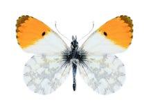 Motyli Anthocharis cardamines phoenissa (samiec) Fotografia Royalty Free