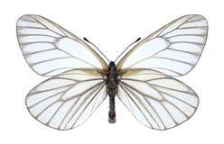 Motyli aporii hippia Fotografia Royalty Free