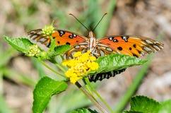 Motyli łasowanie Fotografia Stock