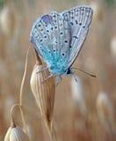 Motyli błękitny lycaenidae przy dojrzałymi owsami Fotografia Royalty Free