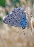 Motyli błękitny lycaenidae przy dojrzałymi owsami Zdjęcie Stock