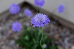 Motyli błękitny scabiosa okwitnięcie Fotografia Stock