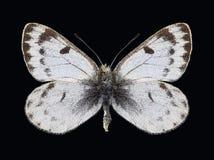 Motyli Baltia shawii Zdjęcia Stock
