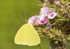 motyli bezchmurny sulphur Fotografia Stock