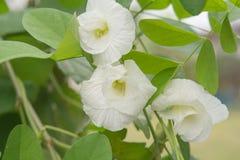 Motyli biały grochowy kwiat obrazy stock