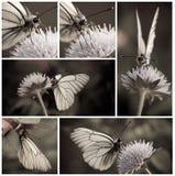 motyli biel Zdjęcie Stock