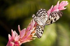 motyli biel Obrazy Royalty Free