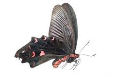 motyli błonie wzrastał Obrazy Stock