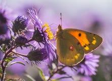 Motyli burjatica (saturidae) Obrazy Royalty Free