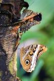 Motyli caligo eurilochus Zdjęcia Stock