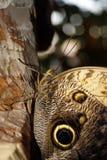 Motyli Caligo memnon obsiadanie na drzewnego bagażnika zbliżeniu Fotografia Royalty Free