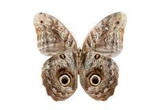Motyli Caliqo brasiliensis Obrazy Stock