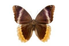 Motyli Caliqo urarus Obrazy Stock