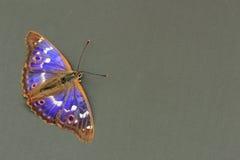 motyli cesarz motylie purpury obraz stock