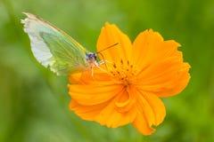 Motyli chwyt na żółtych kosmosów kwiatach Obraz Stock