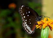 Motyli czarny piękny Zdjęcie Stock