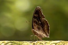 Motyli Czekoladowy pansy Zdjęcie Royalty Free