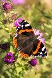 Motyli czerwony admiral na choince Fotografia Stock