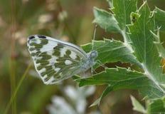 motyli daplidice dzień pontia Obrazy Stock
