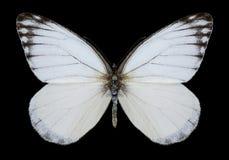 Motyli Delias agostina Zdjęcia Royalty Free