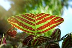 Motyli drzewo, Motyli liście, Obrazy Stock