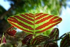 Motyli drzewo, motyli liście Zdjęcie Stock